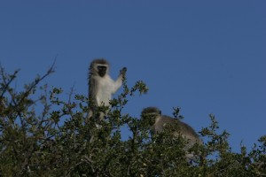 Vervet monkeys thrive around these trees which provide all their food needs.