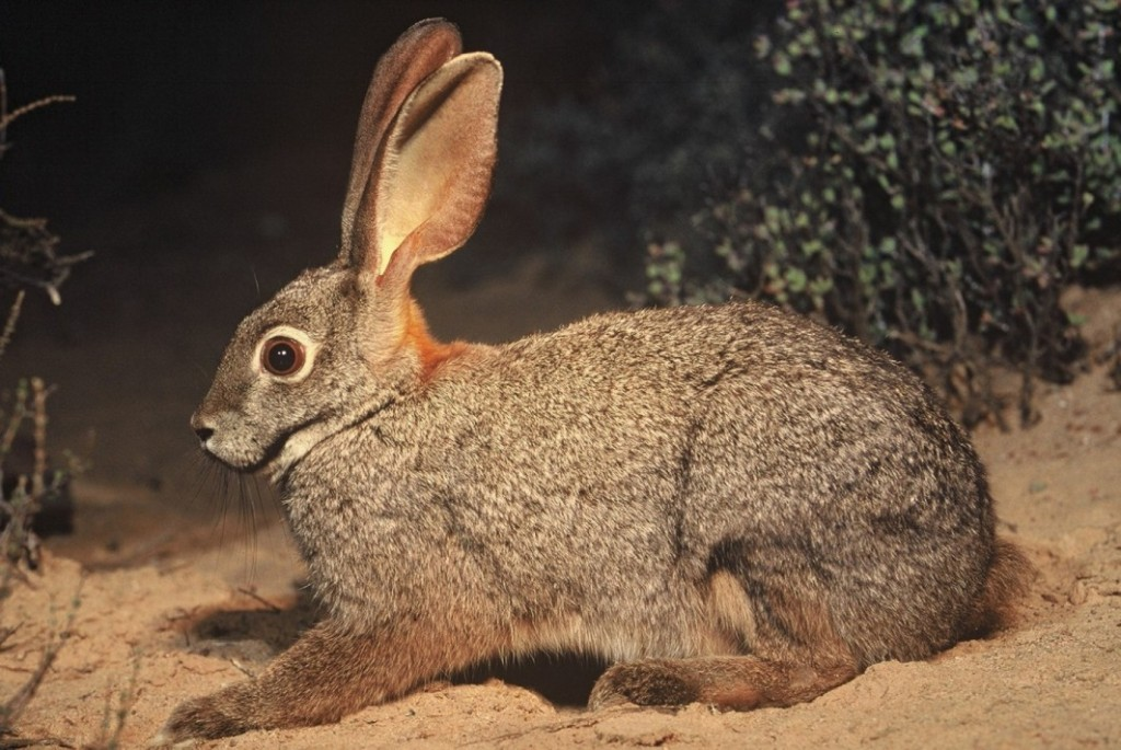 Riverine Rabbit, Karoo, rivers
