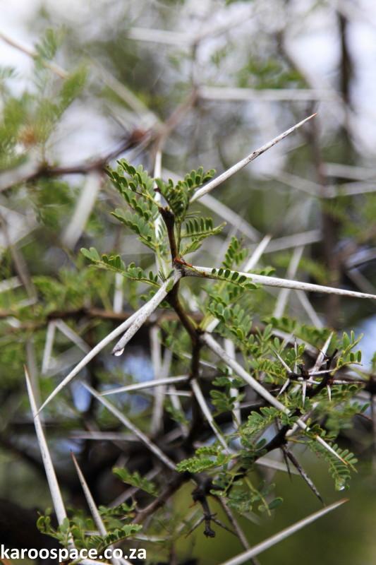 Acacia Karroo A Sweetly Thorny Matter Karoo Space