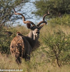 Kudu, Acacia karroo