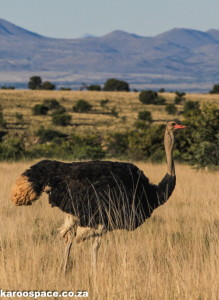 Ostrich male pacing through the grasslands.