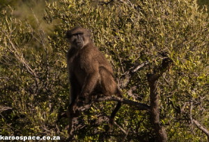 Chacma baboons and vervet monkeys are found in the park.