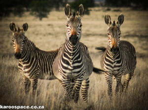 Mountain zebras have outsize ears.