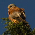 A male Lesser Kestrel, small as a pigeon, but imperious as an eagle.