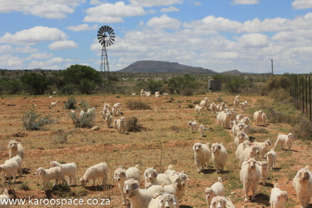 Windpump, angora goats, Karoo