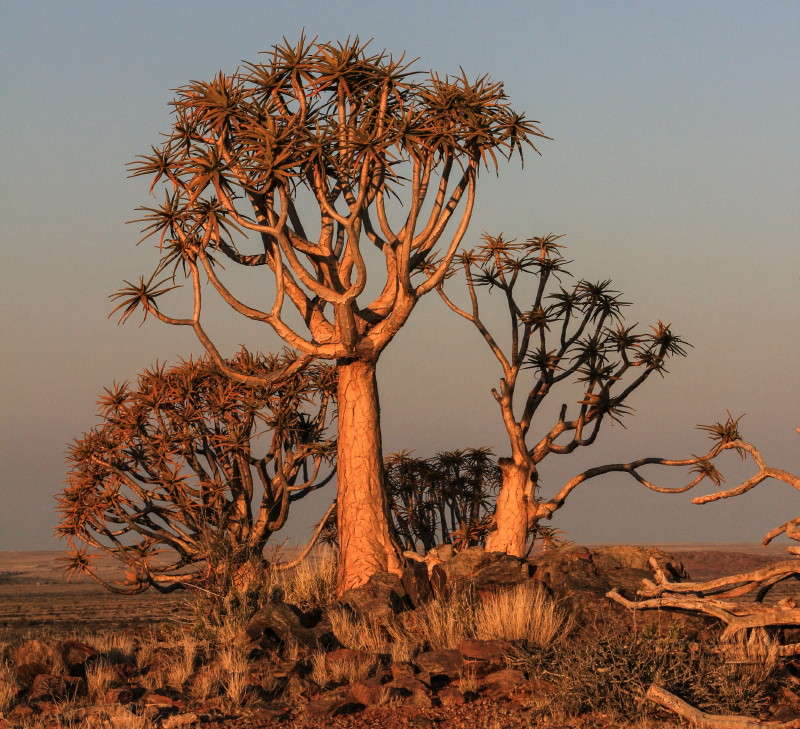 The Quiver Trees Of Kenhardt Karoo Space