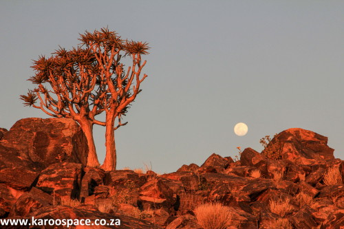 quiver trees, kenhardt, northern cape