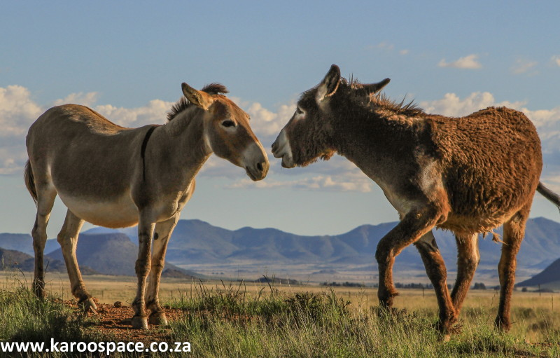 donkeys of the karoo