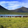 Karoo cattle grassfed beef