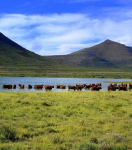 Karoo cattle grassfed beef