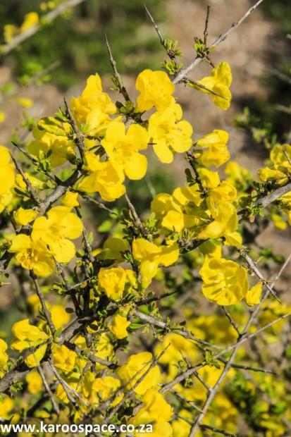 Rhigozum obovatum (wildegranaat), Karoo veld