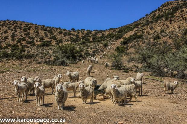 Angora goats, Karoo