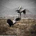 blue cranes, karoo, south africa