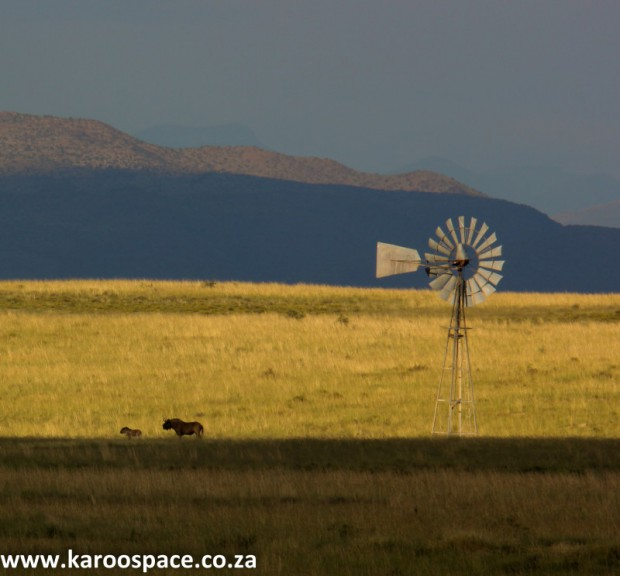 Black wildebeest and windpump, Karoo