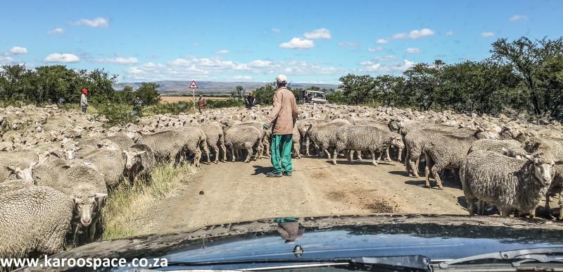 sheep, karoo heartland