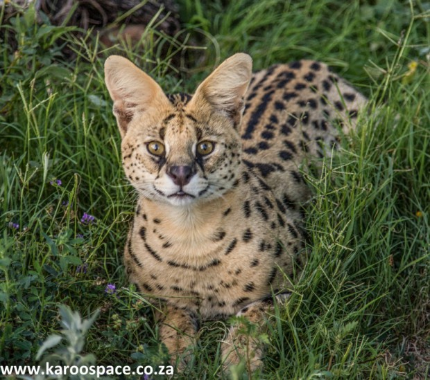 serval cat, karoo