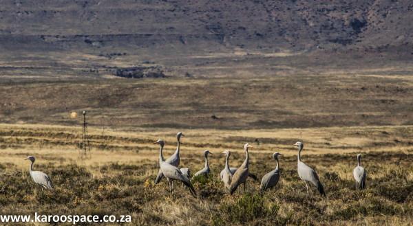 Blue cranes, Karoo, South Africa