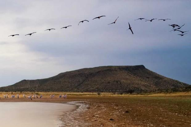 Blue cranes at Mt Melsetter, Karoo