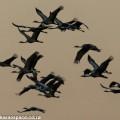 Blue cranes, Karoo