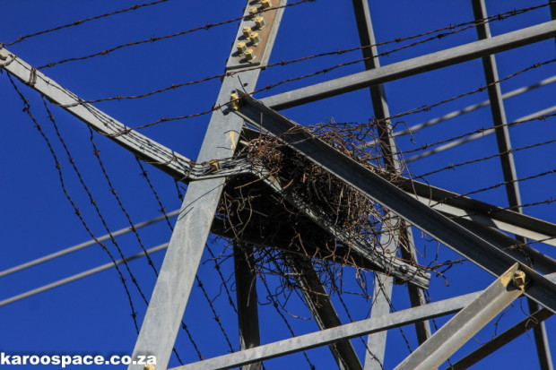 Power lines have facilitated the increase of pied crows in the Karoo, but climate change has driven their soaring numbers.
