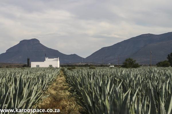 Karoo, Tequila, Agave, Graaff-Reinet