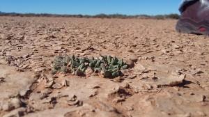 Nananthus, Karoo, Uranium