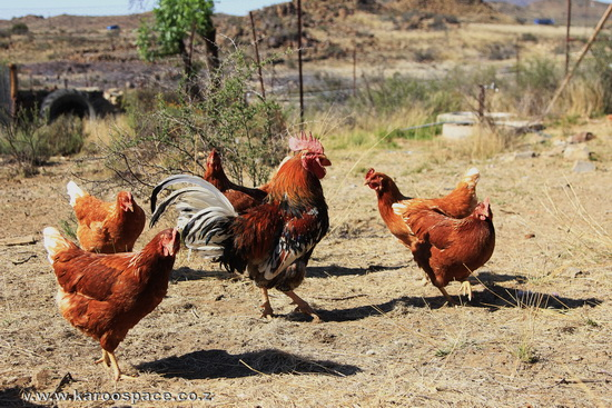 Karoo Padstal chickens