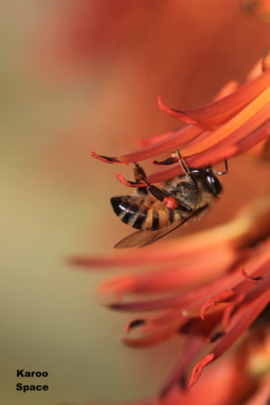 Bee on Aloe ferox