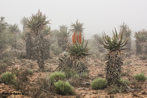 Cape aloes in the mist