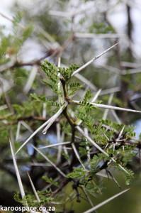 Acacia karroo thorn