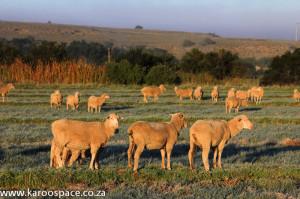 Karoo sheep, wool