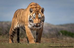 Karoo tigers