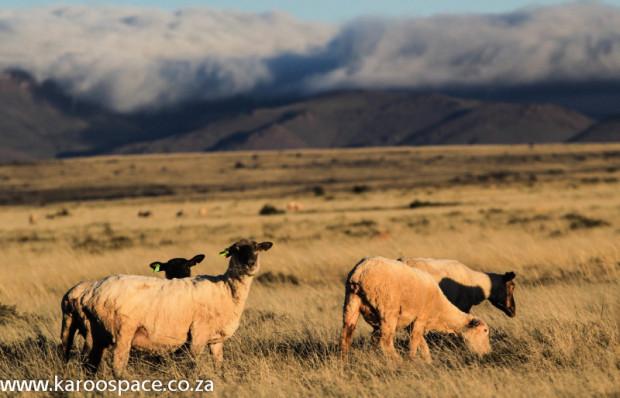 Karoo veld