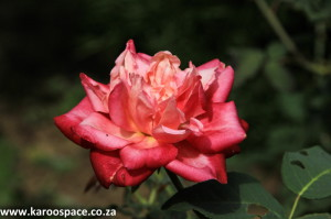 Heritage roses