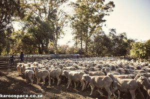 Fracking puts the Karoo's sustainable farming industry at risk.