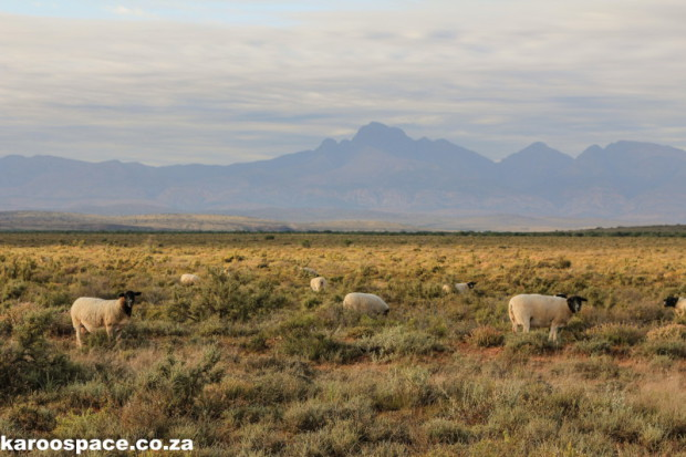 Open spaces and healthy sheep in the Karoo.