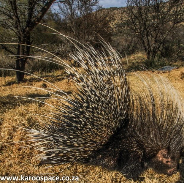 Porcupines- another unwilling member of the varmint group.