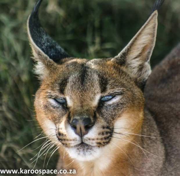 Lynx (aka caracals or rooikatte) are loathed by farmers because of their lamb-klling habits.