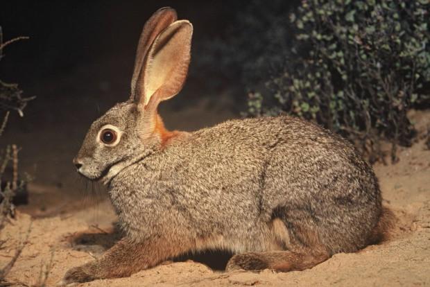 Riverine Rabbit, critically endangered, Karoo