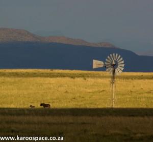 Black wildebeest and windpump, Karoo