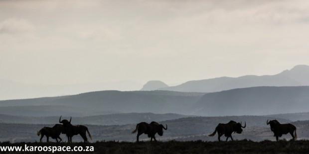 Black wildebeest, Camdeboo National Park