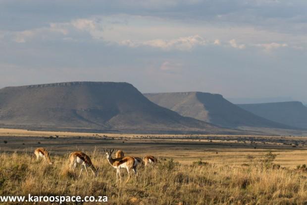 Mountain Zebra National Park springbok