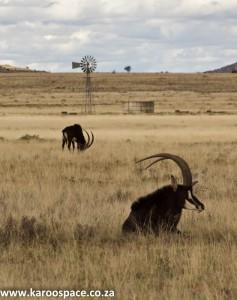 Sable antelope, Karoo
