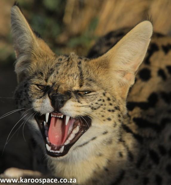 Serval, Karoo