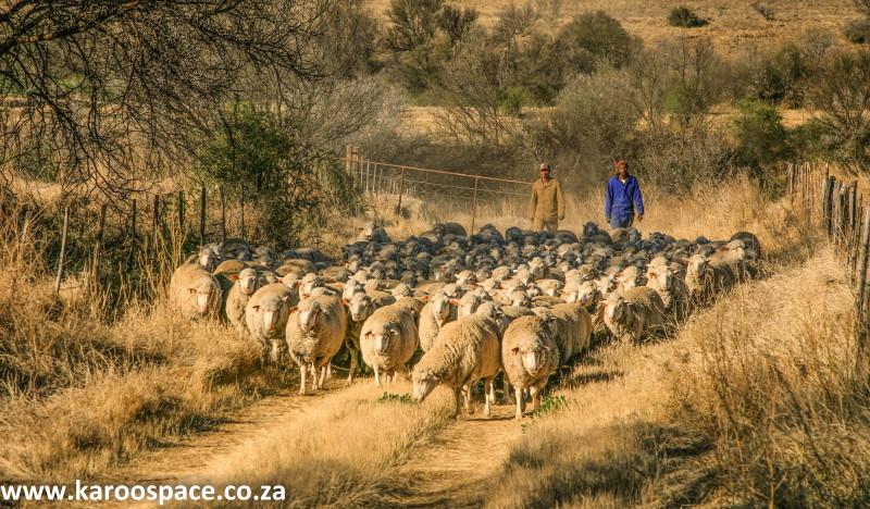sheep, fish river, karoo