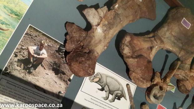 Karoo fossils, Kannemeyeria, Kitching, Nieu Bethesda
